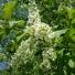 Zselnicemeggy - Padus avium