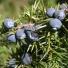 Közönséges boróka - Juniperus communis