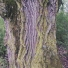 Fekete nyár - Populus nigra