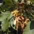 Hegyi juhar - Acer pseudoplatanus