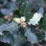 Molyhos tölgyek - Quercus pubescens AGG.