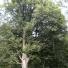 Barkócaberkenye - Sorbus torminalis