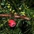 Tiszafa - Taxus baccata