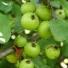A vadalma - Malus sylvestris