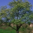 Házi berkenye - Sorbus domestica