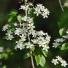 Sajmeggy - Prunus mahaleb