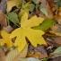 Mezei juhar - Acer campestre