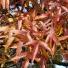 Magyar kőris - Fraxinus angustifolia vahl subsp. danubialis pouzar